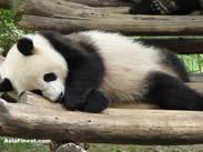 ChengDu Research Base of Giant Panda Breeding Videos